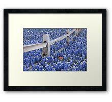 Texas Bluebonnets surround an Indian Paintbrush Framed Print