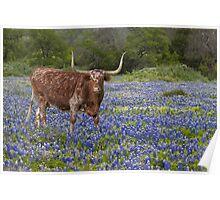 Texas Longhorn in a field of Bluebonnets Poster