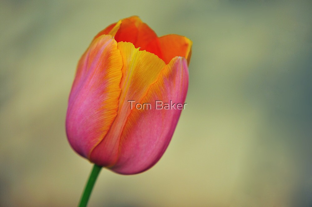 Pastel Tulip by Tom Baker