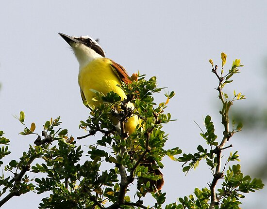 Great Kiskadee by Dennis Cheeseman