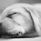 Sleepy Puppy: II  by Rachel Counts