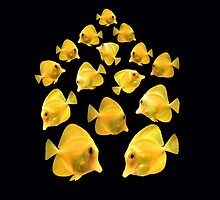 Yellow Tangs by Johnny Furlotte