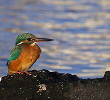 Kingfisher 7 by Jose Santamaria