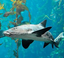 Leopard Shark by BarbaraSnyder