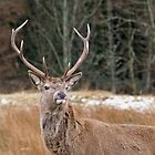 Red Deer Stag by Margaret S Sweeny