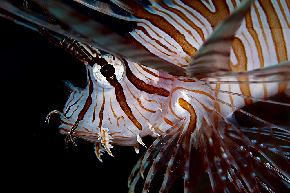 Young Lionfish by Henry Jager