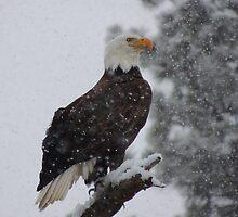 Bald Eagle by BettyEDuncan