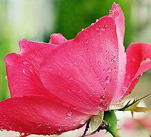 Rosewater by MichelleAyn