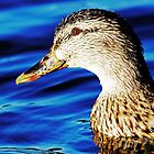 Swimming Duck by Darrick Kuykendall