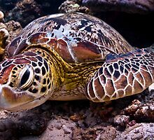 Turtle of Paradise by ZeamonkeyImages