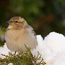A Sparrow! by vasu