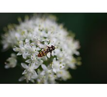 Fleurs d'oignon 2 - Onion flower 2 Photographic Print