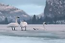 Trumpeters on Swan Lake  by John Poon