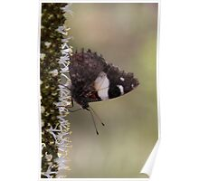 Yellow Admiral Butterfly Poster