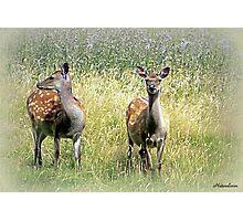 Roe Deer-Dorset Photographic Print