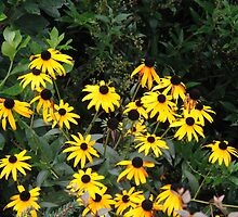 Yellow Susans by Jay Reed