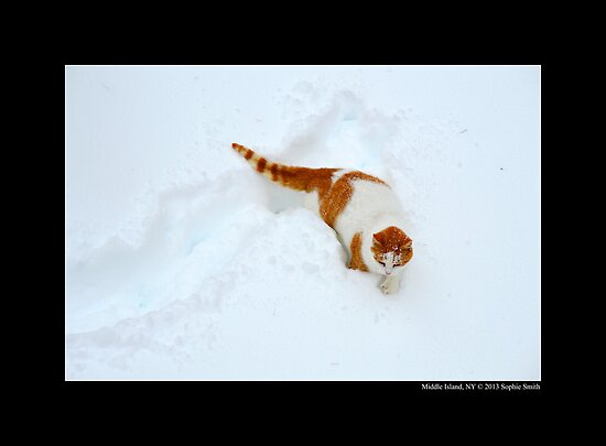 Felis Catus - White And Orange Domestic Cat In The Snow by © Sophie W. Smith