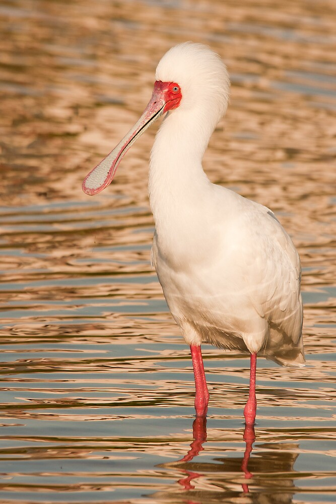 sunset spoonbill by Anton Alberts