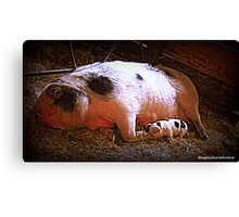 Pigs Canvas Print