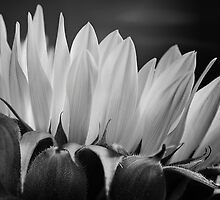 Sunflower in Black & White by Mariola Szeliga