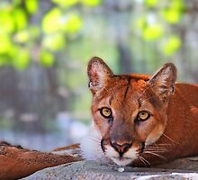 Staring Cougar by Darrick Kuykendall