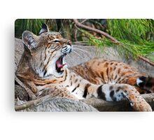 Yawning Bobcat Canvas Print