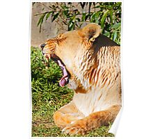 Yawning Lioness Poster
