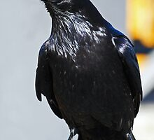 Black Raven by Darrick Kuykendall