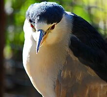 Black Crowned Night Heron by Darrick Kuykendall