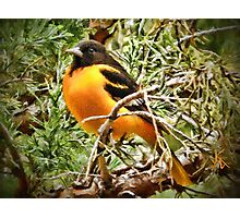 Baltimore Oriole Oil Effects Photographic Print