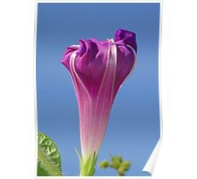 Deep Magenta Morning Glory Flower Bud Against Sky Poster