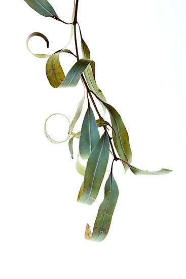 Drying Eucalypts.  by John Holding