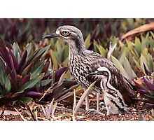 Bush Stone-curlew with Chick Photographic Print