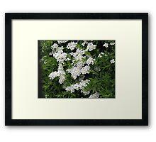 Pretty White Spiraea Blossoms  Framed Print