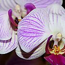 Orchids by Lou Wilson