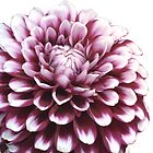 My Love Of Dahlias by tori yule