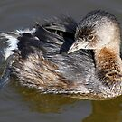 Pie Billed Grebe by Dennis Cheeseman