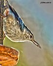 White-breasted Nuthatch by Caleb Ward