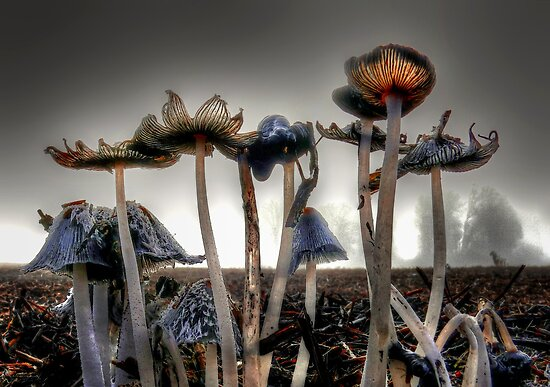 Coprinus lagopus by Charles & Patricia   Harkins ~ Picture Oregon