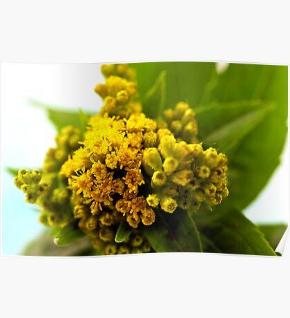 Golden Rod - Solidago Wild Flower  Poster
