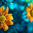 Tungsten Mexican Sunflowers by ThomsonStudios