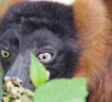 Red Ruffed Lemur Sticker