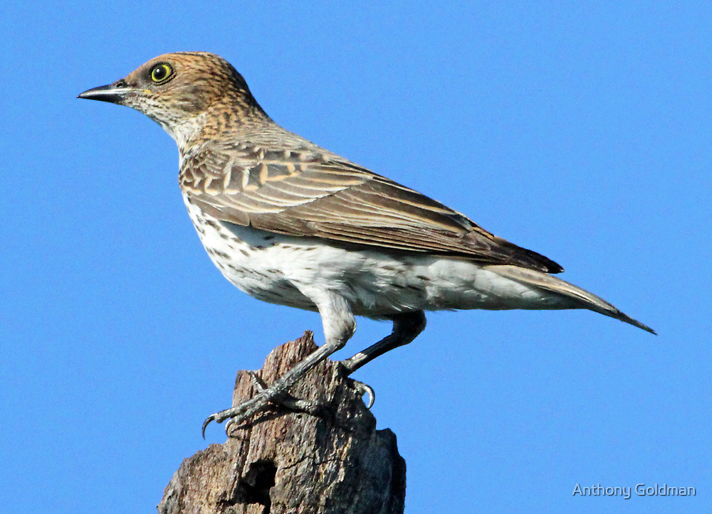 Tree pipit by jozi1