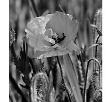 Monochrome Poppy Photographic Print