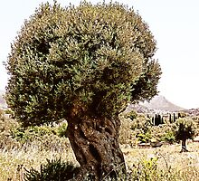 The Olive Tree by Vinchenso