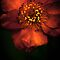 Blood Orange Anemone by alan shapiro