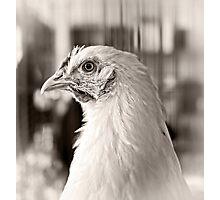 Prize Winning Hen Photographic Print