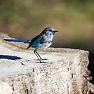 Splendid Fairy Wren 2 by mncphotography