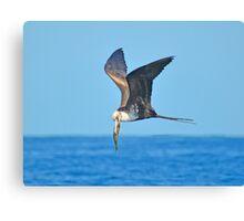 Great Frigate Bird Canvas Print