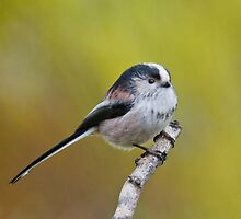 Long- tailed tit by Margaret S Sweeny